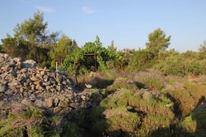 Berba lavande na polju Breslavica vlasnika Bartola Dulčića, selo Rudina, otok Hvar, 6.7.2016.: Obrani grmovi lavande, trim.