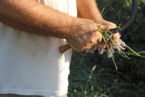 Berba lavande na polju Breslavica vlasnika Bartola Dulčića, selo Rudina, otok Hvar, 6.7.2016.: Berba lavande, rezanje stabljika.