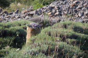 Berba lavande na polju Breslavica vlasnika Bartola Dulčića, selo Rudina, otok Hvar, 6.7.2016.: Polje Breslavica s vrećom ubrane lavande.