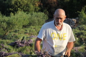 Berba lavande na polju Breslavica vlasnika Bartola Dulčića, selo Rudina, otok Hvar, 6.7.2016.: Berba lavande, Bartol Dulčić.