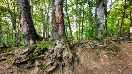 Neobično korijenje stabala, Ivančica iznad Belca